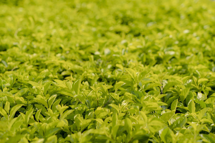 bright green garden wall as background Close-up Foliage Agriculture Beauty In Nature No People Food And Drink Outdoors Plant Part Freshness Field Backgrounds Full Frame Selective Focus Green Color Leaf Growth Plant Tea Leaves Land Plantation Nature Day Leaves