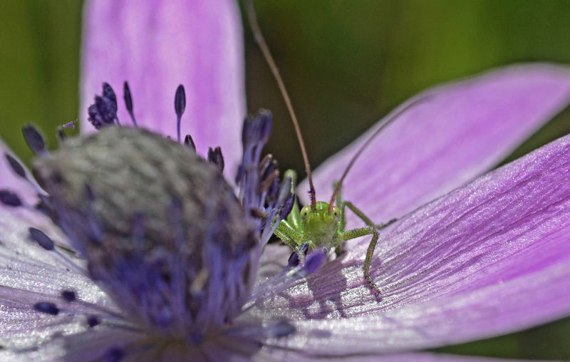 Green grasshopper over a flower petal under the sun rays Flower Green Macro Close-up Grasshopper Flower Insect Purple Close-up Animal Themes Plant Animal Antenna