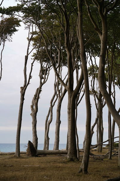 Gespensterwald Baltic Sea Ostsee Ostseeküste Tree Plant Tranquility Beauty In Nature Nature Trunk Tranquil Scene Tree Trunk Growth Land Scenics - Nature Sky Day No People Branch Environment Outdoors Field Landscape Non-urban Scene