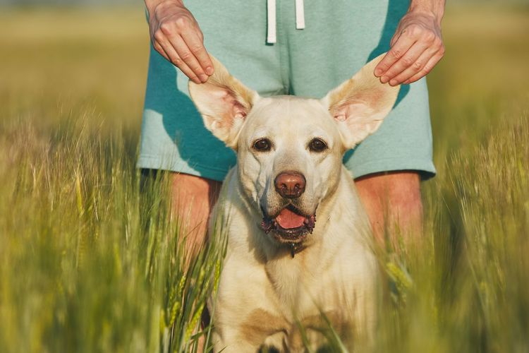 Funny view of dog. Young man playing with his labrador retriver in nature. Funny Happiness Happy Listening Man Canine Cheerful Countryside Crazy Dog Domestic Animals Ear Enjoyment Field Friendship Holding Labrador Retriever Nature Pathway People Pet Owner Pets Playing Summer Togetherness