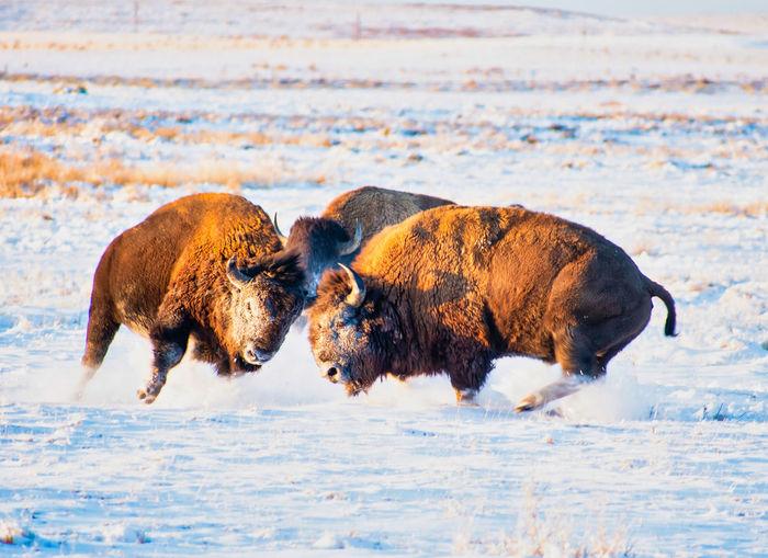 Clashing american bison