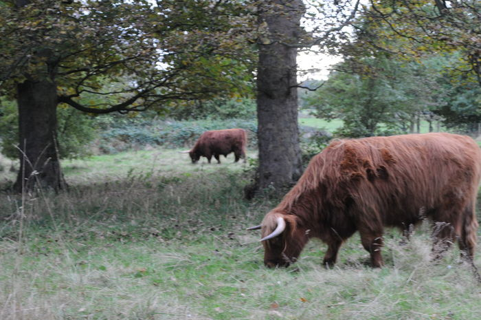 Highland cattle in woodland, Yorkshire Animals Cow Fashion Graze Grazing Grazing Cattle Highland Cattle Light And Shadow Livestock Nature Wood Yorkshire