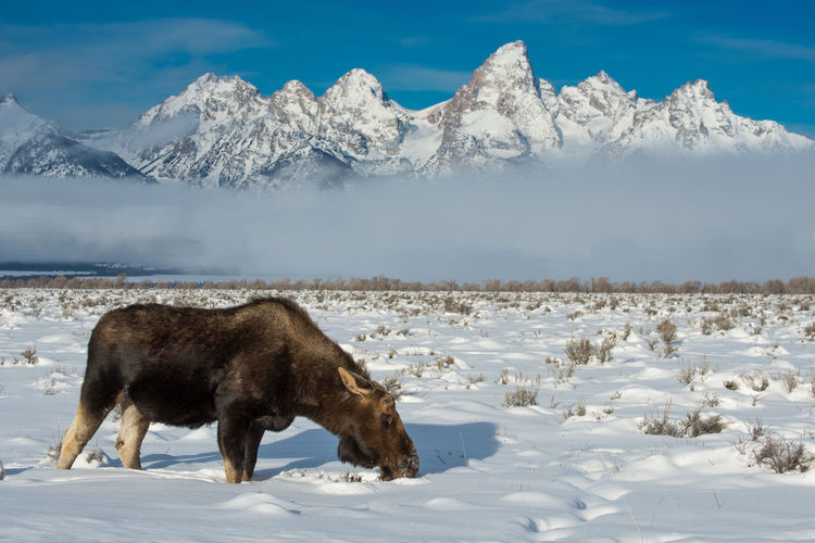 Moose on snow covered field against snowcapped mountains