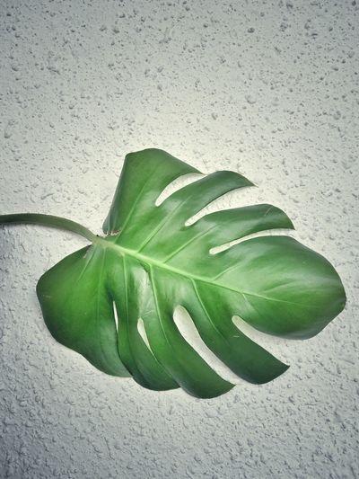 Green leaf Monstera Leaves🌿 Grunge Concept Concrete Concrete Wall Green Leaves Leaf Close-up Green Color
