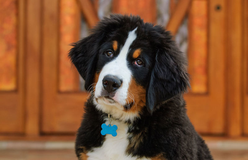 Bernese Mountain Dog puppy Animal Head  Animal Themes Bernese Bernese Mountain Dog Canine Cute Day Dog Dog Photography Domestic Animals Door House Mountain Dog No People One Animal Pets Portrait Puppy Young Animal