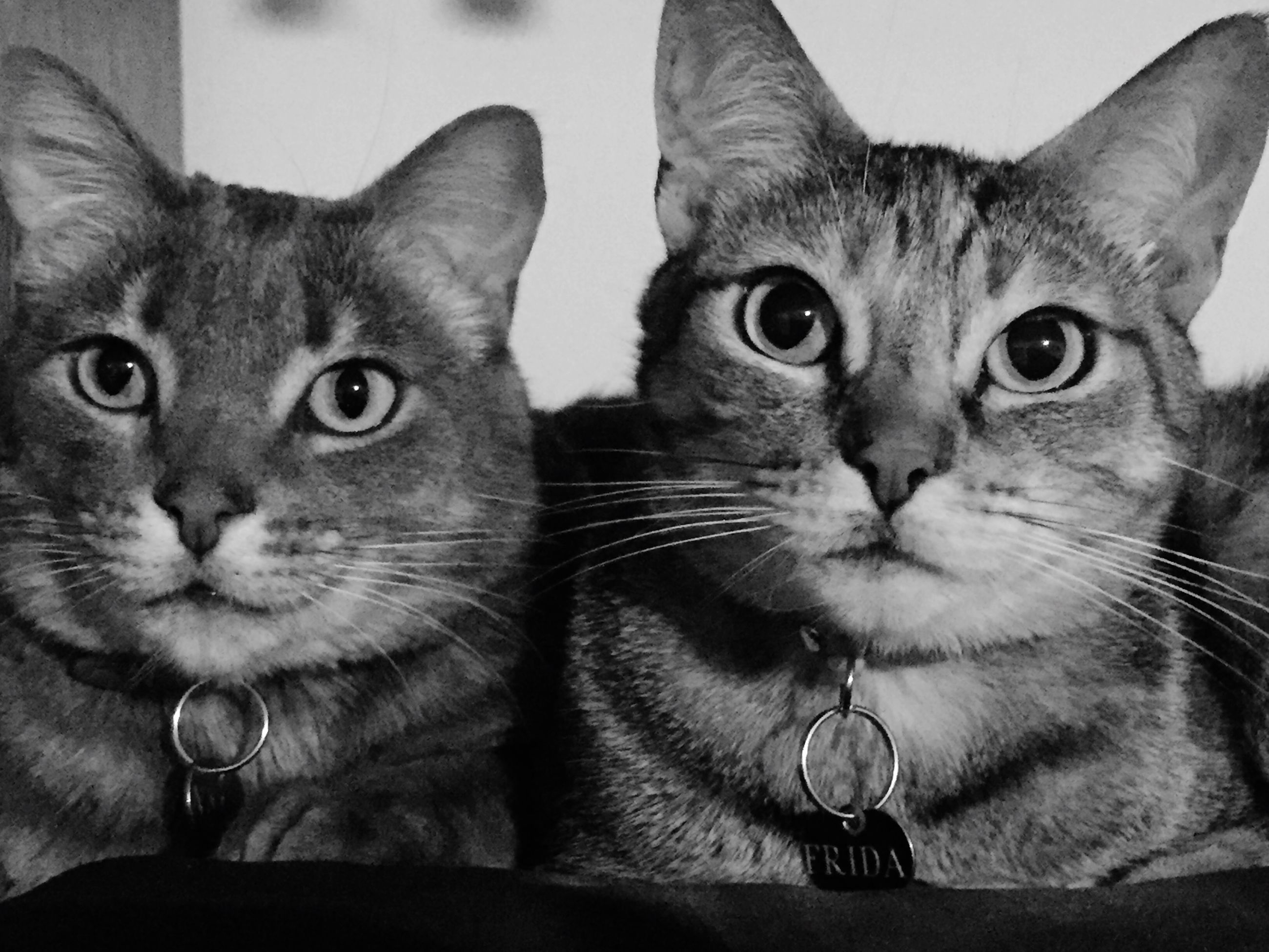domestic, pets, cat, domestic cat, mammal, domestic animals, feline, vertebrate, portrait, group of animals, looking at camera, indoors, two animals, whisker, close-up, no people, animal eye