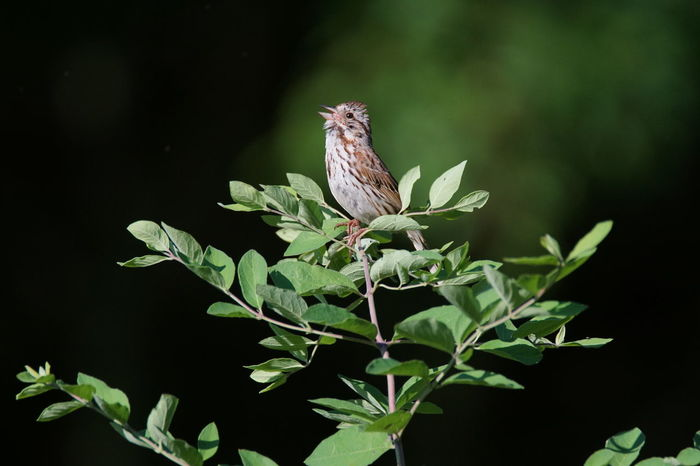 Animal Wildlife No People Plant Animals In The Wild One Animal Nature Close-up Black Background Animal Themes Outdoors Day Perching Beauty In Nature Songbird  Song Sparrow Bird Singing
