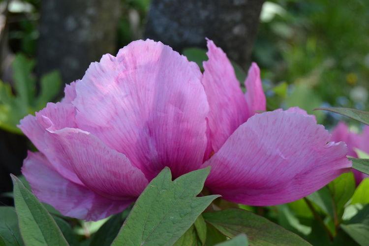 Shyness Sensuality Peonia Flower Nature Pink Springtime