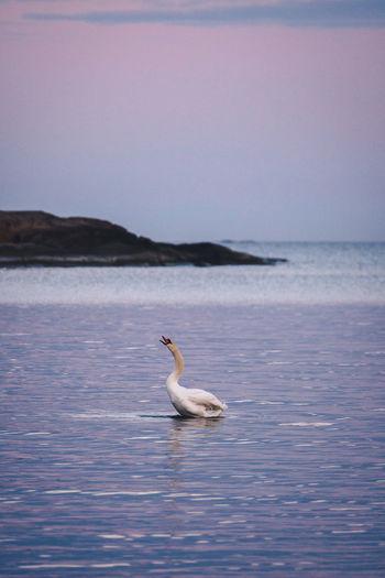 Swan in a sea