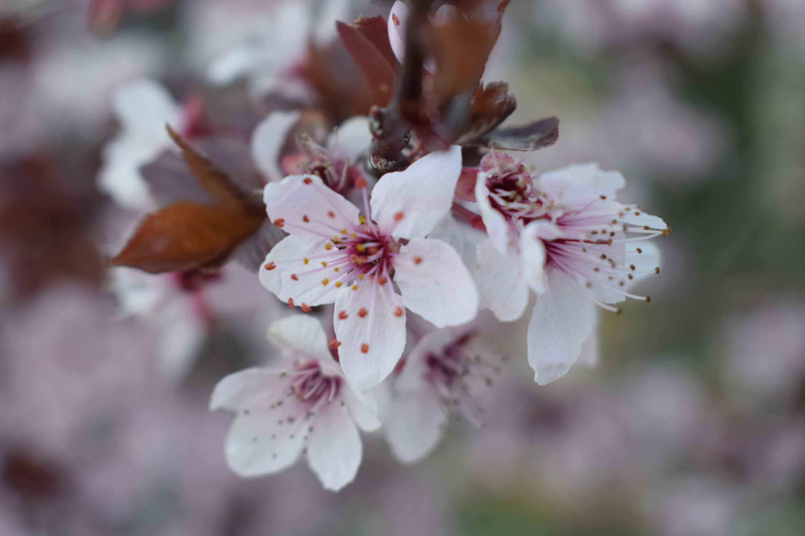 flowering plant, fragility, flower, vulnerability, plant, beauty in nature, freshness, growth, petal, close-up, flower head, pollen, inflorescence, blossom, selective focus, day, tree, cherry blossom, springtime, pink color, no people, outdoors, cherry tree