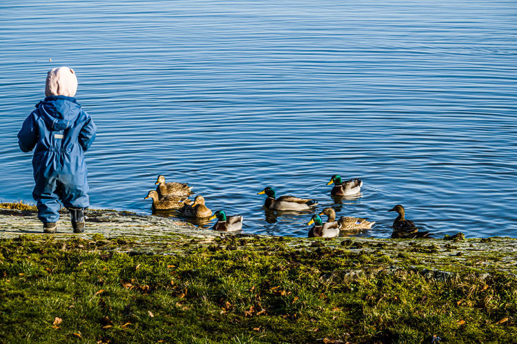 Rear view of birds swimming in lake