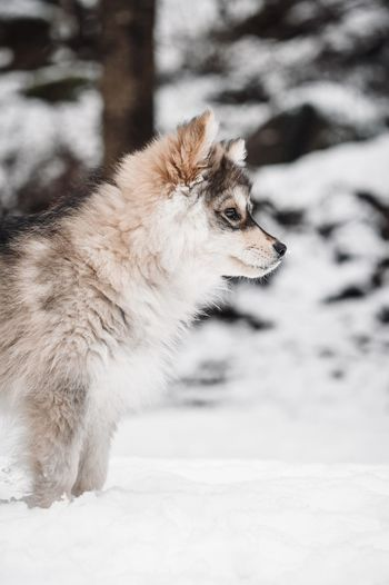 Puppy finnish lapphund dog looking away on snow covered land