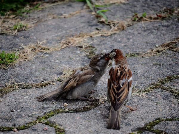 Tree sparrows 😊 Birds Feeding Feeding Time Feedme Tree Sparrow Sparrow Sparrow Bird Sparrows Bird Bird Photography Birds Bird Feeding Young Bird Young Birds Parenting Nature On Your Doorstep Adapted To The City