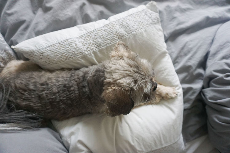 directly above of cute little dog resting on pillow Dog Pet Cute Pets Cute Dog  Animal Themes Animal Directly Above Bed Bedroom Bedroom Pets Pillow Stuffed Toy Bed Dog Teddy Bear Sleeping Close-up Pet Bed Blanket Wrapped In A Blanket At Home Sheet