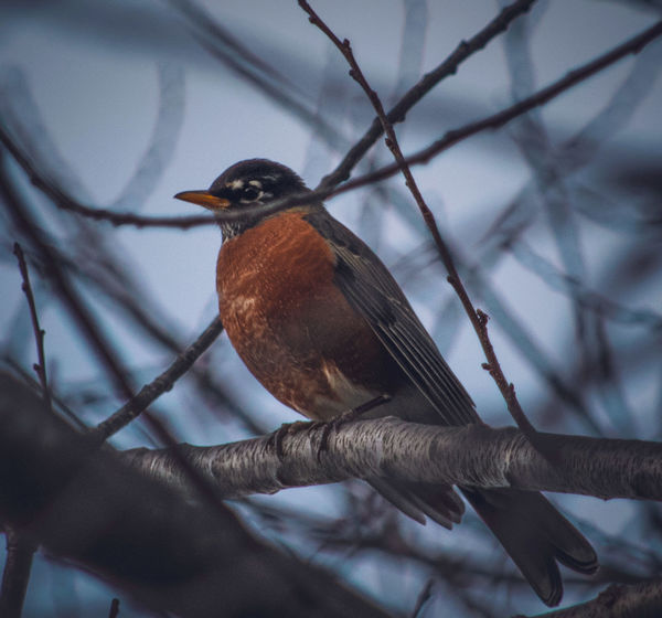 American Robin Bird Animal Wildlife Animals In The Wild Animal Themes Close-up Nature Perching Beauty In Nature Nature Photography EyeEm Nature Lover Flowers, Nature And Beauty Wildlife & Nature Wildlife Photography Wildlife Animal Photography
