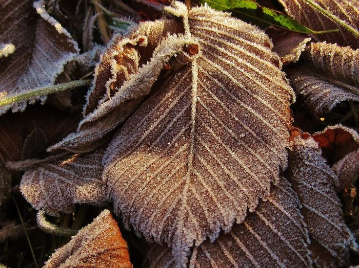Ice textures Leaf Close-up Leaves Beauty In Nature Nature Cold Temperature Autumn Frost Winter Frozen Ice Outdoors Nature_collection Nature Photography Cold Pattern Textured  Design Decoration Ornament Crystal Grain Sunny Morning Leaf Vein