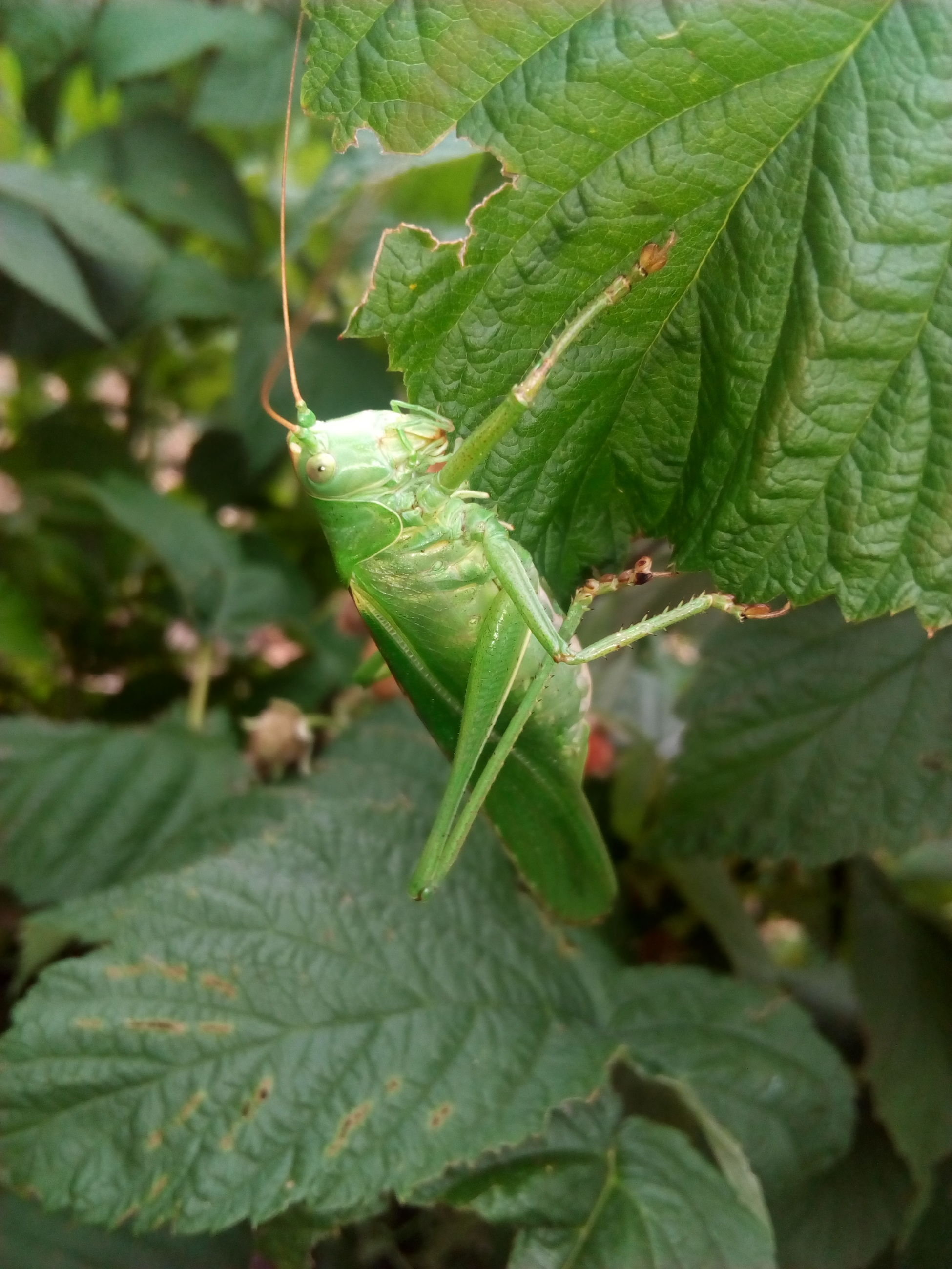 one animal, animal themes, animals in the wild, leaf, green color, insect, nature, close-up, animal wildlife, no people, plant, day, outdoors, beauty in nature, grasshopper