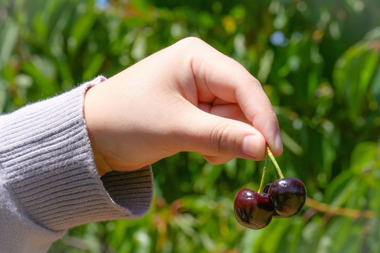Close-Up Of Hand Of Child Holding Cherries