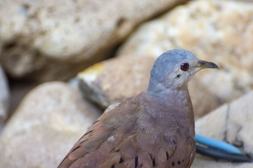 The bird. EyeEm Nature Lover EyeEm Selects EyeEm Gallery EyeEmNewHere Animal Animal Themes Animal Wildlife Animals In The Wild Bird Close-up Day Dove - Bird Focus On Foreground Looking Mourning Dove Nature No People One Animal Outdoors Perching Pigeon Rock Rock - Object Solid Vertebrate