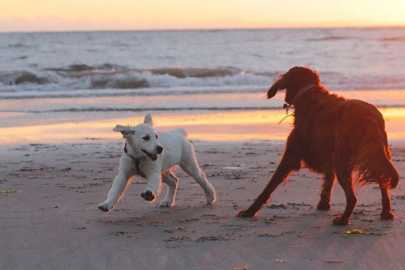 EyeEm Selects Sea Pets Sunset Animal Land Canine Water Vertebrate Domestic Animals Dog Domestic Horizon Over Water Sky One Animal Beach Nature No People Animal Themes Mammal Horizon