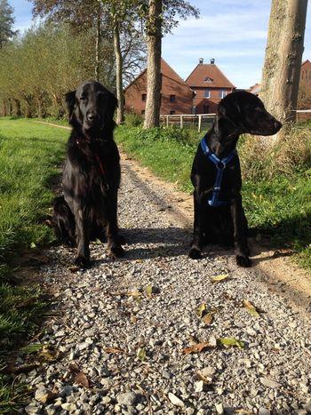 Flatcoated Retriever dogs Enjoying Life