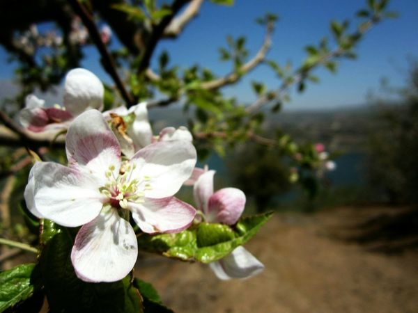Spring Into Spring Apple Tree Flwoers Nature Photography OpenEdit Nature Focus