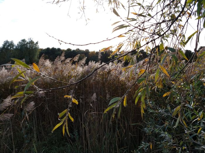 reed indeed Autumn Berkendonk Reed Tree Sky Plant Leaves Twig Fall