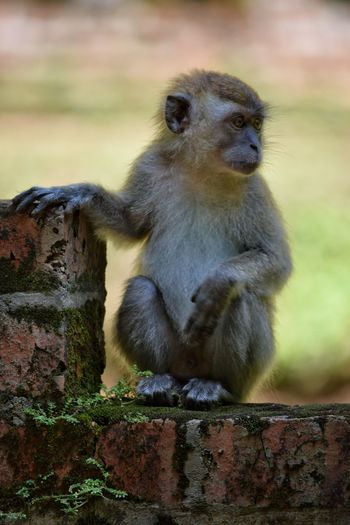Monkey Ipoh Malaysia Macaque Baby Monkey Young Animals In The Wild Animal Wildlife One Animal Sitting Ape Outdoors No People Close-up Nature Day Full Length Brick Wall Fern Animal Animal Themes Cute Curiosity Bricks Visit Ipoh