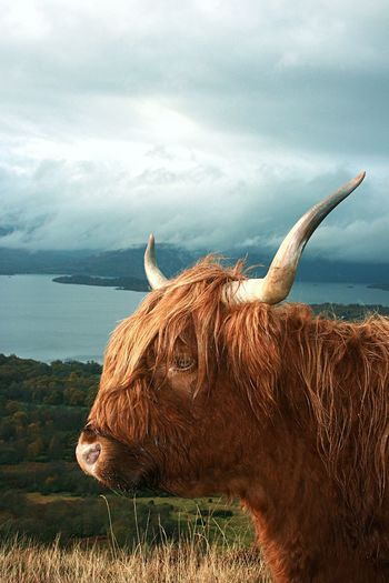 Scotland Highland Cattle Mammal Domestic Animals Livestock Horned One Animal Animal Themes Cow Nature Cattle Grass Brown Sky Field No People Day Cloud - Sky Outdoors Standing Horizon Over Water