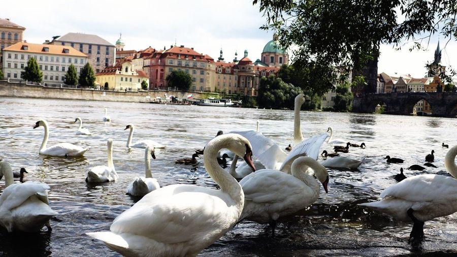 Freedom Swans ❤ First Eyeem Photo