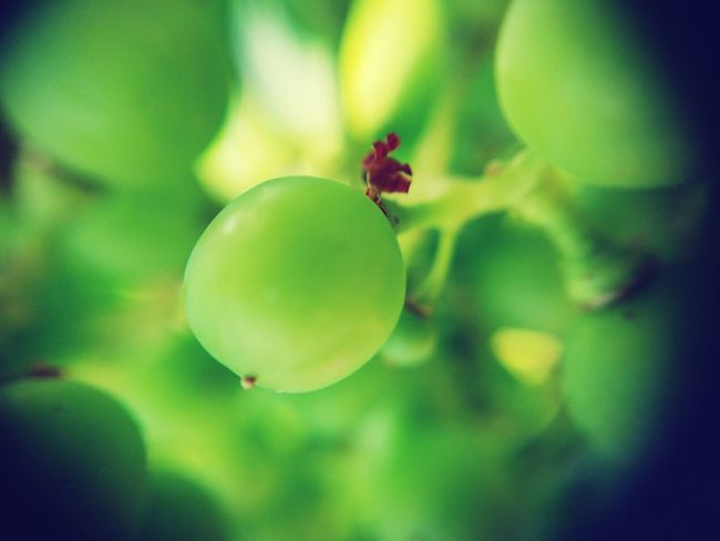 Wine Not Fruit Green Color Close-up No People Day Outdoors Nature Healthy Eating Food Tree Growth Freshness Animal Themes Wine Grape Switzerland Vineyard Macro