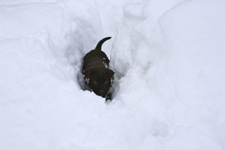 Funny small dog through a thick layer of snow