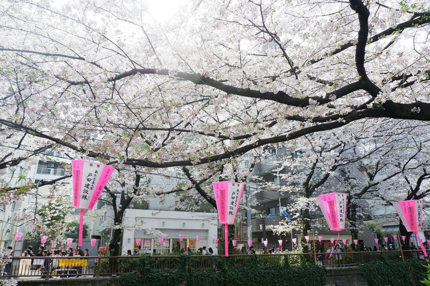 Pink Spring Sakura Plant Tree Flowering Plant Nature Flower Branch Growth Blossom Fragility Freshness No People Built Structure Day Springtime Outdoors Building Exterior Architecture Pink Color Park Cherry Tree
