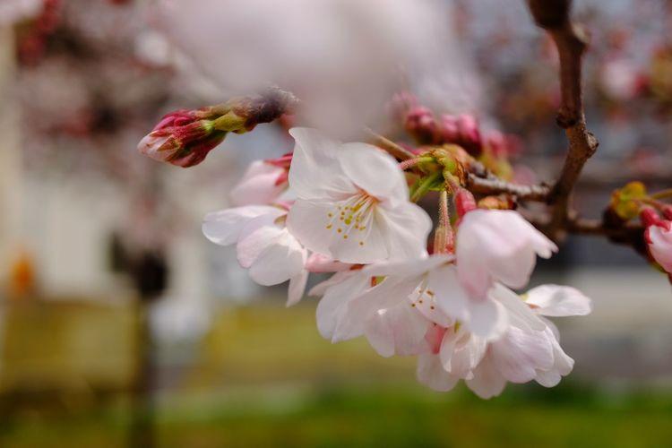 Flower Head Flower Tree Branch Springtime Pink Color Petal Blossom Close-up