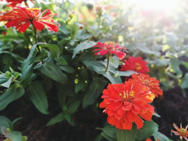 Flower Plant Beauty In Nature Nature Red Flower Head Growth Leaf Day No People Outdoors Fragility Freshness Close-up