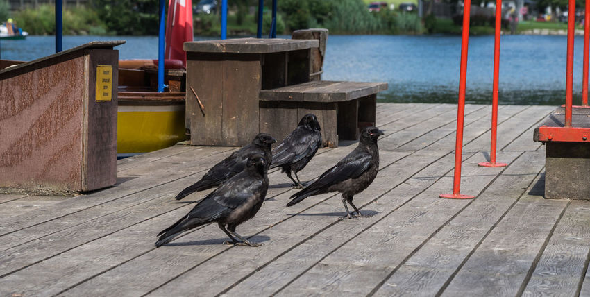 Corvus Corax Raven Animal Animal Themes Animal Wildlife Animal Wings Animals In The Wild Bird Birds Black Black Bird Black Birds Corvidae Corvus Day Feather  Group Of Animals Landing Stage Nature No People Outdoors Raven Bird Water Wings Wood - Material
