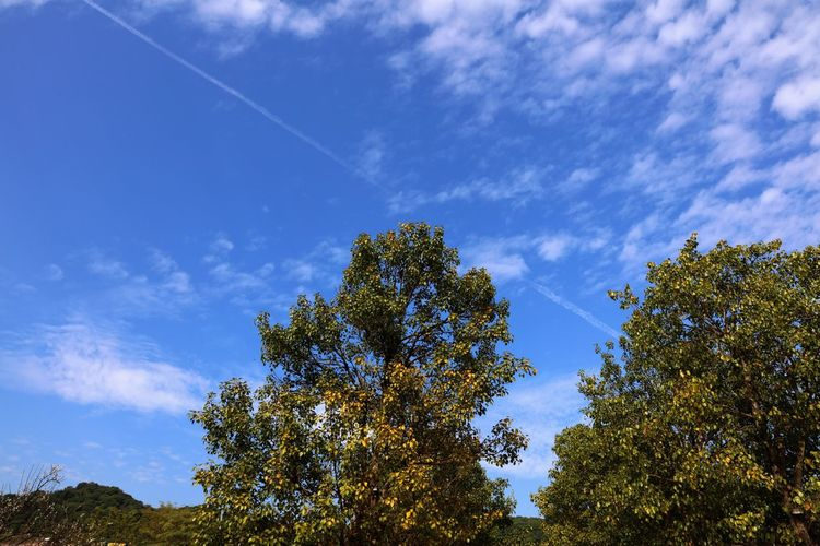 Tree Sky Nature Beauty In Nature Low Angle View Blue Scenics Growth No People Outdoors Tranquil Scene Vapor Trail Tranquility Day Treetop Contrail