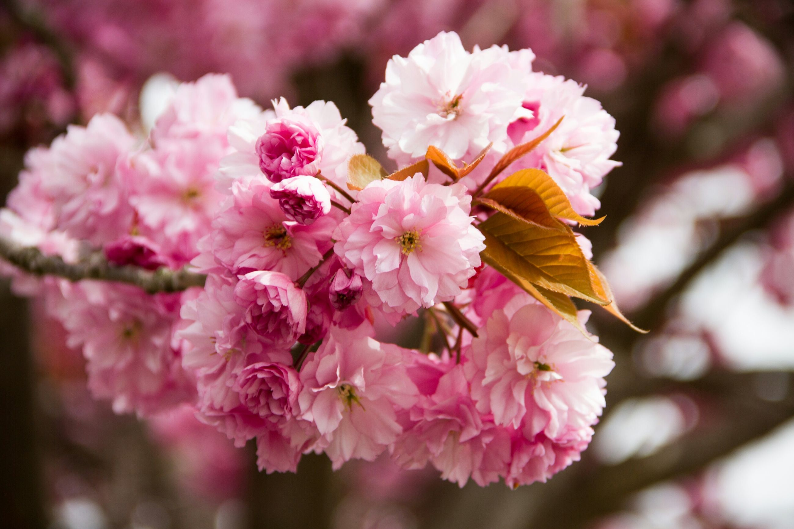 flower, freshness, fragility, pink color, petal, beauty in nature, growth, focus on foreground, close-up, cherry blossom, nature, branch, blossom, flower head, blooming, cherry tree, in bloom, tree, springtime, twig
