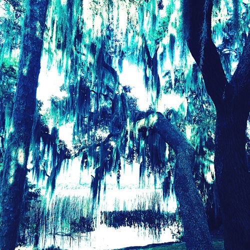 Oaks with Spanish moss on lake in Florida. Nature Beauty In Nature Tranquility Low Angle View Scenics Tree No People Tranquil Scene Day Stalactite  Water Outdoors oak with Spanish moss Blue Tint eerie Mysterious Southern Gothic IPhoneography Iphoneonly