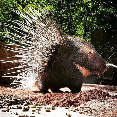 Gestacheltes Schwein. Animal Animals Donttakemyhand Zoo Stachelschwein Porcupine Dasmussteichgooglen