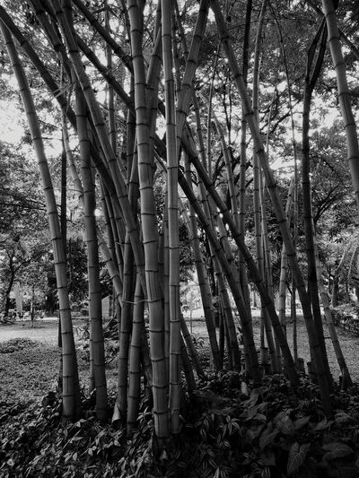 Tree Nature Tree Trunk Forest Outdoors Day Growth Plant No People Tranquility Beauty In Nature Lush - Description Blackandwhite Black & White