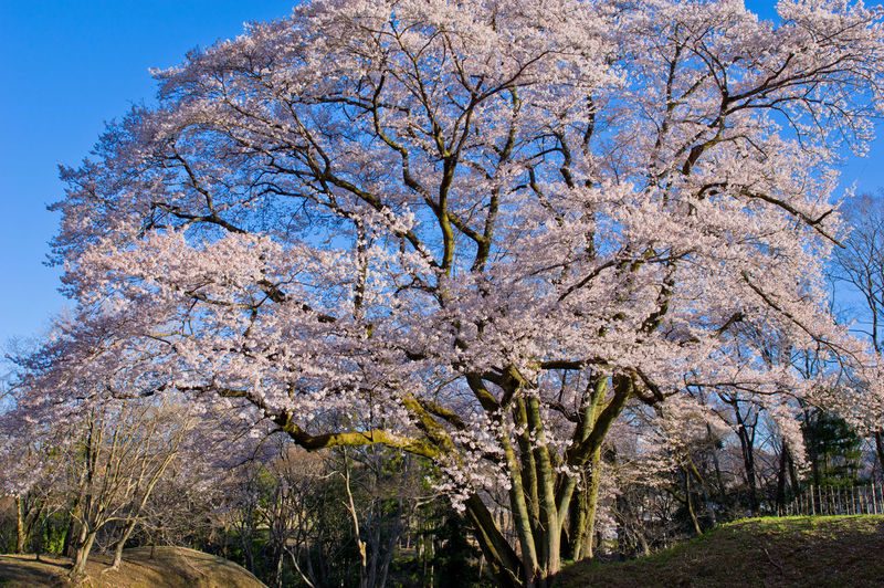 Plant Tree Flowering Plant Flower Springtime Blossom Beauty In Nature Freshness Nature Growth Fragility Sky Branch Day No People Cherry Blossom Pink Color Vulnerability  Cherry Tree Low Angle View Outdoors Cherry Blossom Japan Japan Photography Spring Flowers Spring Cherry Flower Pentax