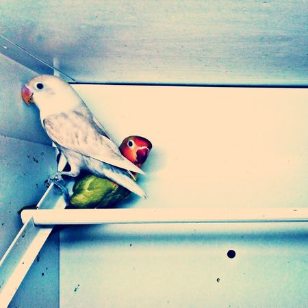 parakeets. Parakeets Pets Overwhelmed Animals
