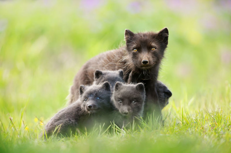 Portrait of arctic fox with family on grassy land