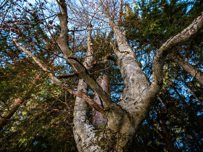 Tree Plant Tree Trunk Trunk Low Angle View Growth Nature Forest Tranquility Branch Beauty In Nature No People Land Day Outdoors Scenics - Nature WoodLand Sky Tranquil Scene Non-urban Scene Tree Canopy