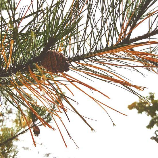 소나무 💦☔️ Rainy Days Freshness Nature Tree Drop RainDrop ☁☁☁