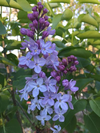 Flower Purple Freshness Wisteria Nature Beauty In Nature Fragility Growth Close-up Outdoors Vine No People Scented Day Lilac