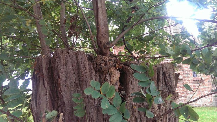 Growth Tree Tree Trunk Day Outdoors Green Color Nature Close-up Branch Saguaro Cactus Low Angle View No People Ivy Cactus Sky Plant Wood - Material Beauty In Nature Forest