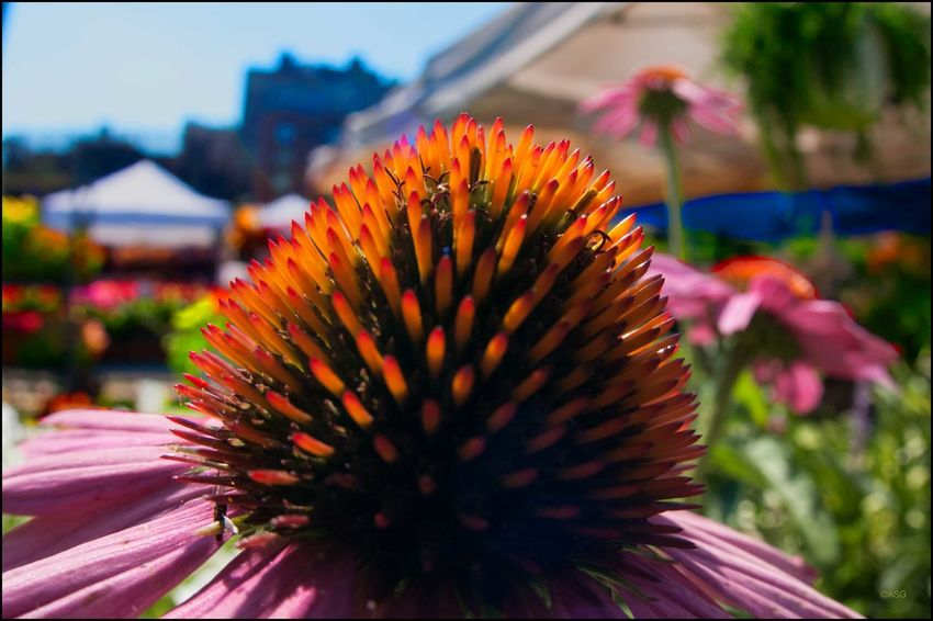 DT _ Cone flower ! Union Sq. Mkt. - 7/22/17 EyeEm Macro Collection EyeEm Selects EyeEmNewHere My Unique Style Nikon D300 W/ 16mm Lens & Close Up Ring Pollinating Flowers W/ My Camera The Journey Is The Destination Beauty In Nature Malephotographerofthemonth My Point Of View