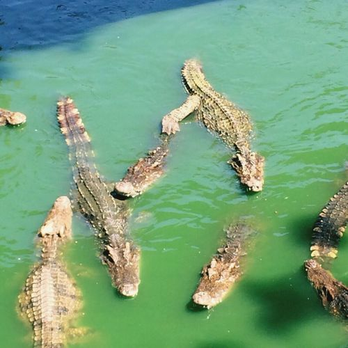 High angle view of crocodile swimming in sea